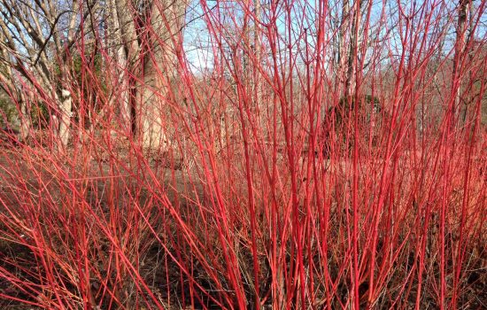 Bloodtwig dogwood (Cornus sanguinea 'Midwinter Fire'), growing in our Plants of Promise garden near the Education Center