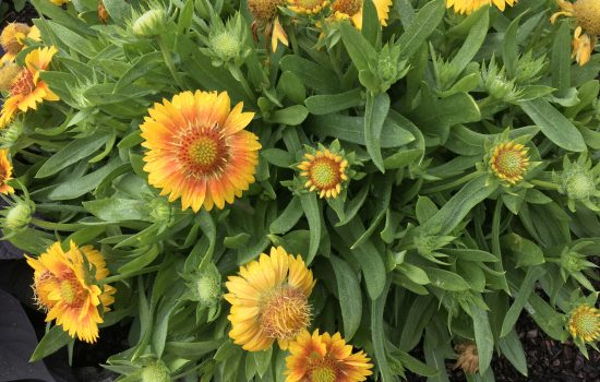 Gaillardia grandiflora 'Peach' MESA™ Blanker Flower is a butterfly attractant plant. Gaillardia can be grown across the state of North Carolina and some species grow on the sandy soils of beach environments and sand dunes.