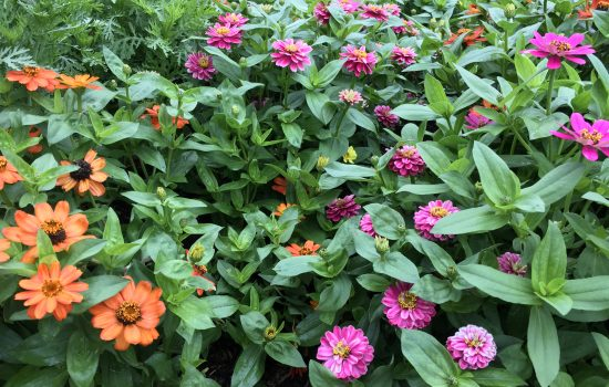 Zinnia marylandica 'Zahara Mix' is an array of zinnia colors. Zinnias impart dye form their flowers in a range of color from yellow to gold.