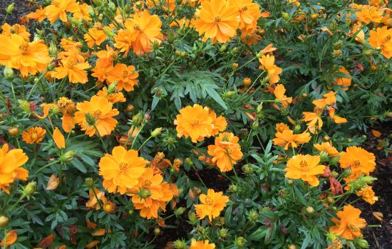 Cosmos sulphereus 'Cosmic orange' is a bright orange cosmos that will emit a yellow dye when steeped in a dye vat.