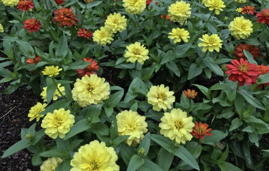 Zahara series zinnias (Zinnia marylandica 'Fire Improved' and 'Yellow') are in full summer flowering mode. Zinnias are an easy to grow annual with flowers showing color all season.