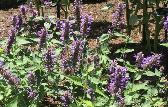 Agastache x 'Blue Boa' is one of the Hummingbird Mints and butterflies and pollinating insects like Agastache too.