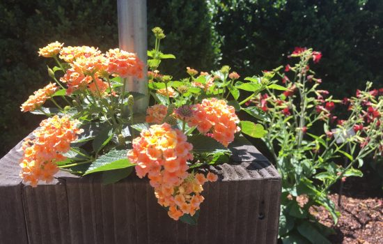Lantana 'Evita Orange' is a butterfly nectar food plant.