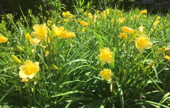 It's the beginning of day lily flowering time and this popular cultivar 'Stella de Oro' is one of the first in bloom.