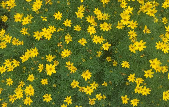 Coreopsis verticillata 'Zagreb' is a ground covering perennial with fine foliage texture and small bright abundant yellow flowers.