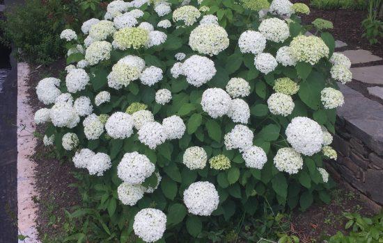 Hydrangea arborescens 'Annabelle' is a show off in the Stream Garden during summer season.