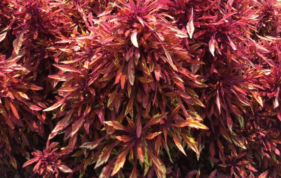 This showstopper annual coleus is from the Fancy Feathers Series and is the 'Copper' cultivar. The scientific name of coleus keeps changing. It is currently Plectranthus scutellarioides.