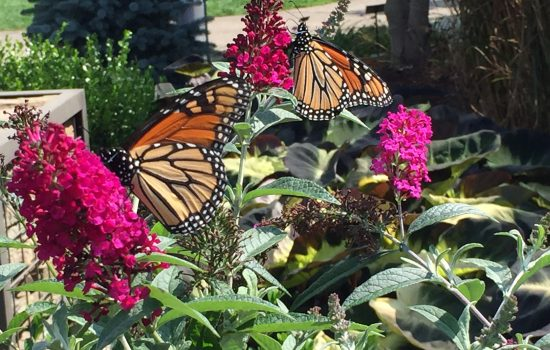 Two monarch butterflies stopping by for lunch on the sweet nectar of Buddleia 'magenta Munchkin' from the Humdinger Collection. Nectar sources are important to support the monarch's migration southward.