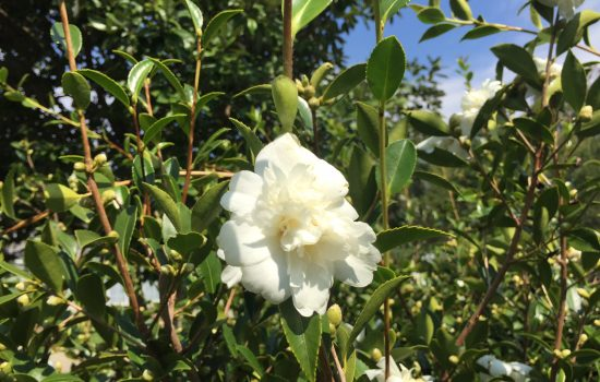 Camellia 'Snow Flurry' is a fall flowering hardy camellia with flowers of twelve petals surrounding a group of small petaloids and gold stamens. Hardy to zone 6b, the Arboretum's USDA cold hardiness zone, this plant flowers profusely for several weeks in early fall.