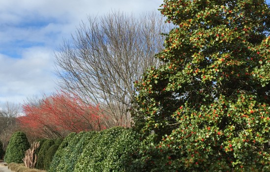 Around the entrance of the Stream Garden, you will find plenty of red berries in Miss Helen and Warren's Red hollies. Possumhaw holly berries create contrast against the green foliage of other hollies.