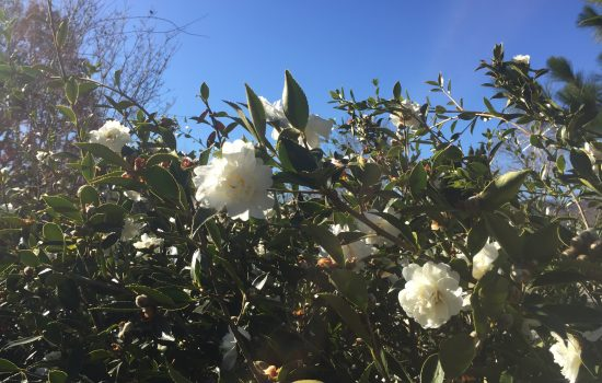 Camellia x 'Snow Slurry' is a hardy camellia that flowers in late fall and early winter. White flowers made up of many petals cover these  evergreen shrubs that grow to four feet tall. Look for these specimens in the Baker Exhibit Center Landscape.