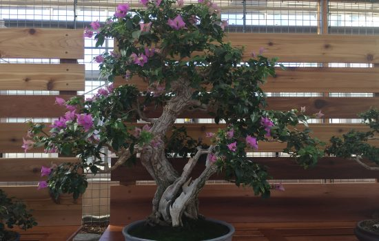 This Bougainvillea bonsai tree is one of the group of tropical bonsai featured on exhibit now in the Exhibit Greenhouse. Visit this tree which is beginning to flower all winter by stopping by the Baker Exhibit Center. While this plant is trained as a bonsai tree, bougainvilleas are tropical woody vines with long lasting flowers that feel papery to the touch.