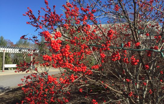 Ilex verticillata, common winterberry has a heavy fruit set this year. Birds will enjoy the berries in late winter as a tasty and nutritious food. Holiday light strings crisscross the  shrub but do not pose any harm to it.