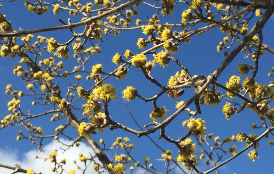 This relatively lesser known dogwood species, Cornus mas 'Golden Glory' is a bright springtime yellow flower against the Carolina blue sky.