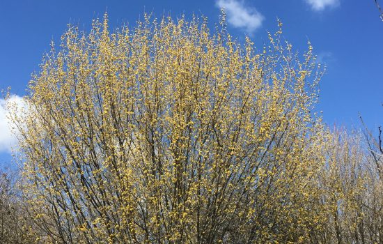 Cornus mas 'Golden Glory' canopy of flowers brightens the springtime sky.