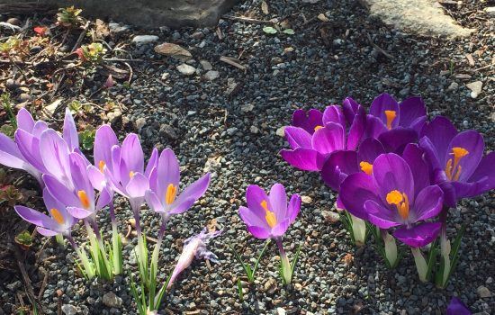 Crocus vernus and Crocus tommasinianus flowering together in a well drained raised bed near the Education Center.