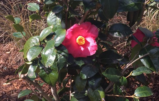Camellia japonica 'Spring's Promise' is blooming in the Plants of Promise Garden! The flowers emerge to promise that spring is on its way.