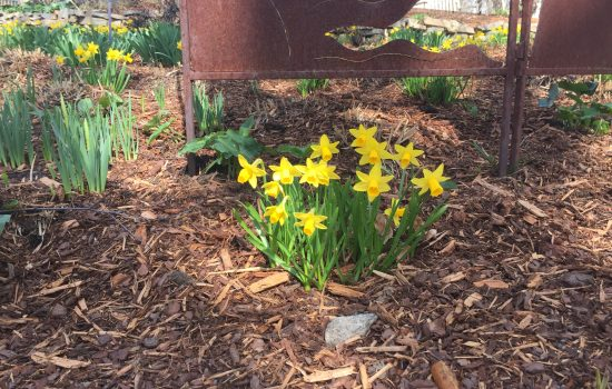 Narcissus 'Little Gem' makes a nice ground cover early blooming daffodil. This heirloom is an easy bulb to force into bloom in pots.
