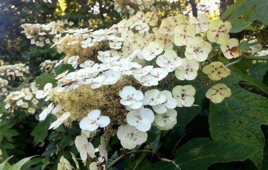 Oakleaf Hydrangea (Hydrangea quercifolia 'Alice')
