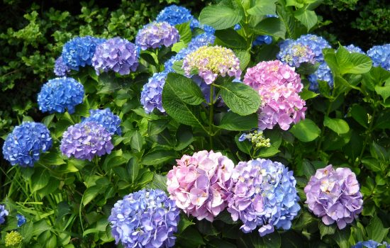 Bigleaf Hydrangea (Hydrangea macrophylla 'All Summer Beauty')