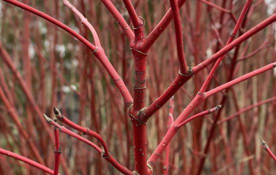 Red Twig Dogwood - Cornus alba 'Sibirica'