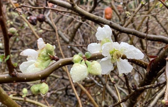 Common Flowering Quince - Chaenomeles speciosa 'Jet Trail'