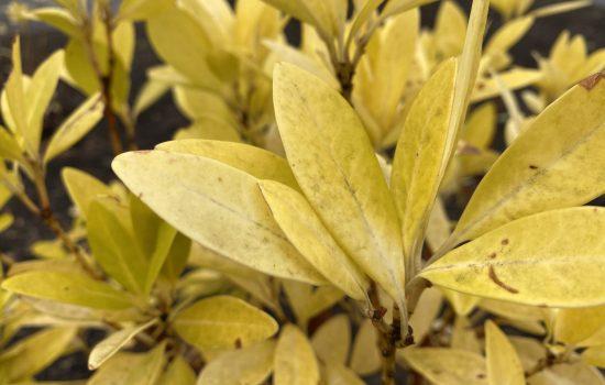 Florida Sunshine Anise - Illicium parviflorum 'Florida Sunshine'