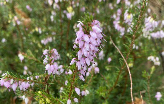 Heath - Erica x darleyensis 'Mediterranean Pink'
