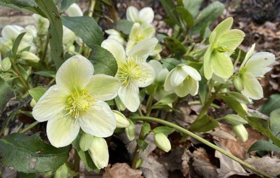 Lenten Rose - Helleborus x hybridus