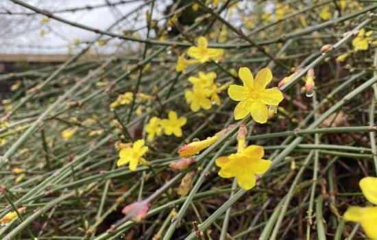 Winter Jasmine - Jasminum nudiflorum