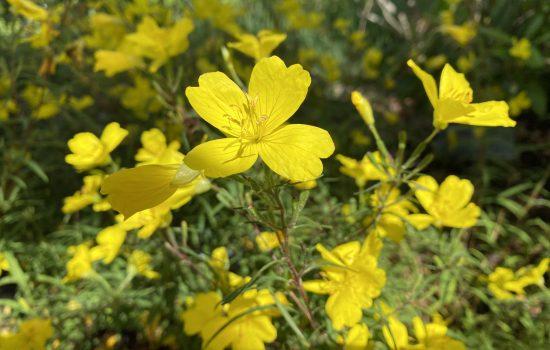Lemon Drop® Evening Primrose - Oenothera 'Innoeno131'