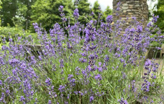 Lavender - Lavandula angustifolia 'Hidcote'