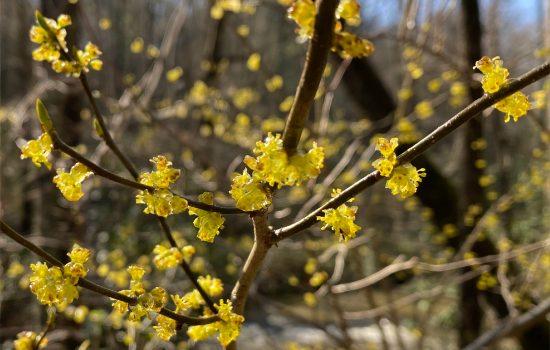 Spicebush (Lindera benzoin)