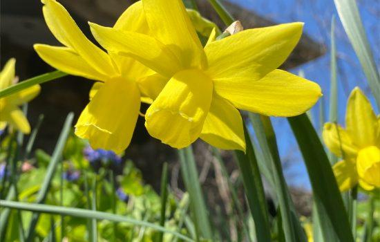 Triandus Daffodil (Narcissus triandus 'Liberty Bells')