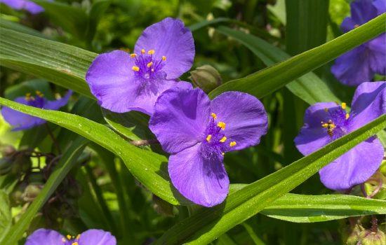 Ohio Spiderwort (Tradescantia ohioensis)