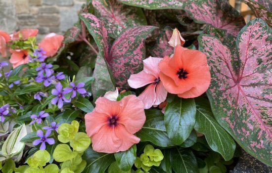 Quasar™️ Series Vinca (Catharanthus roseus 'Orange Target')