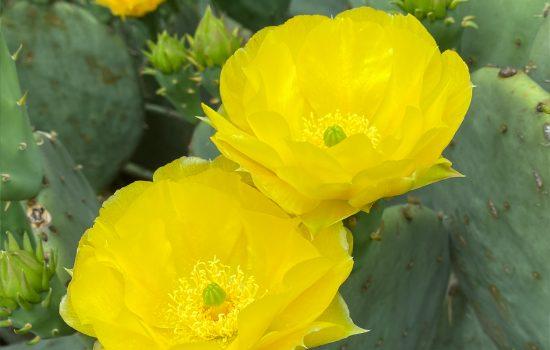 Prickly Pear Cactus (Opuntia sp.)
