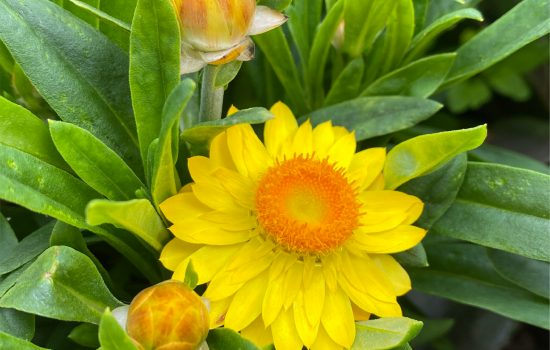Strawflower (Bracteantha bracteata 'Yellow')
