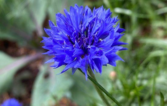 Cornflower (Centaurea cyanus 'Blue Boy') flowering in our Heritage Garden