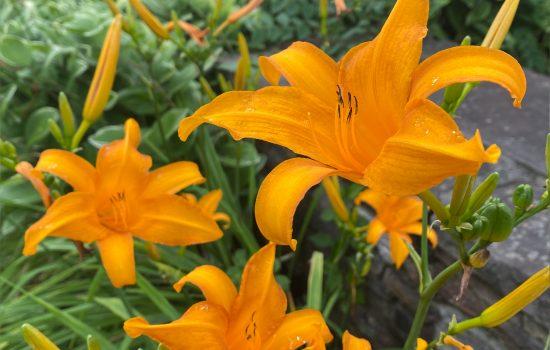 Daylily (Hemerocallis 'Cressida') in our Heritage Garden