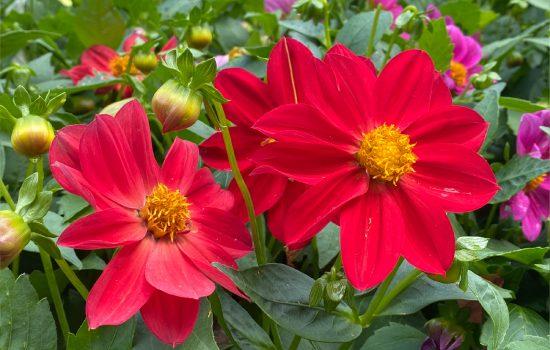 Milano Series Dahlia (Dahlia variablis 'Mix') in our Heritage Garden