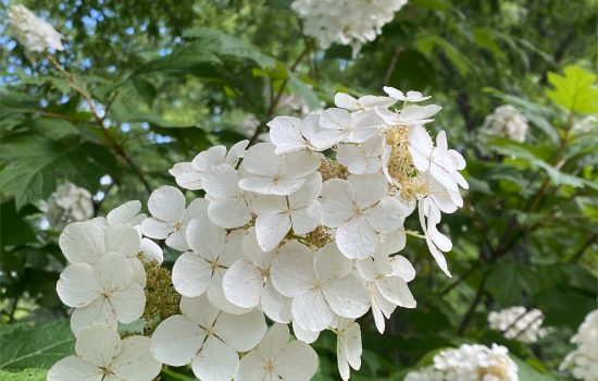 Oakleaf Hydrangea (Hydrangea quercifolia 'Snow Queen') blooming beside to the Education Center parking lot