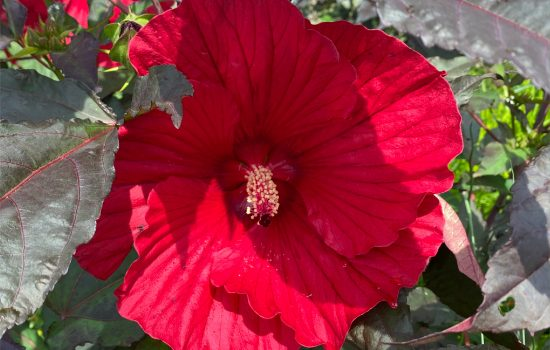 Summerific® Series Rose Mallow (Hibiscus moscheutos 'Midnight Marvel') in our seasonal containers