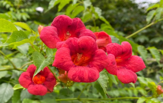 Trumpet Creeper (Campsis radicans) blooming near the steps to Rocky Cove Railroad